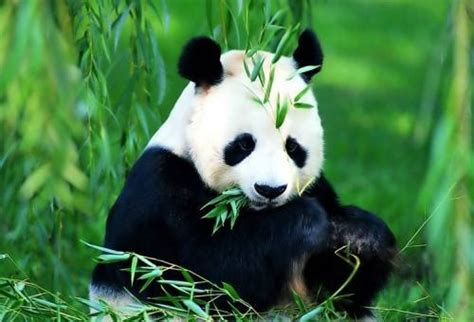 fakta menarik tentang panda  lucu lampu kecil