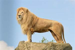 Wallpaper Lion, sky, rocks, Animals #4746