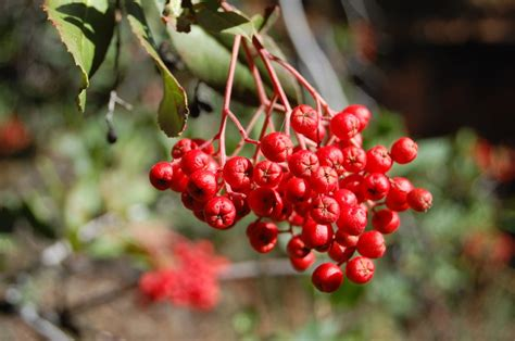 small tree with berries top 28 small berries red berries edible or not edible gettystewart com other less well