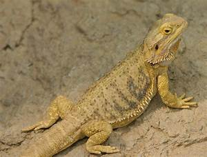 File:Bearded Dragon at Indianapolis Zoo.JPG - Wikipedia