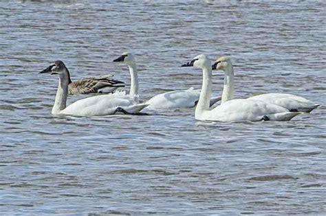 tundra swans swan eat cameragirl gwillimbury east wild