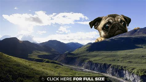 sorry images pictures wallpapers for giant pug wallpaper