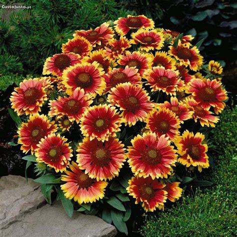 Gailárdia - Fotos e Planta   Flores - Cultura Mix
