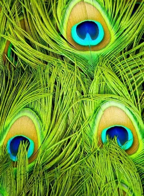peacock green color peacock feathers green peacock pride peacock peacock