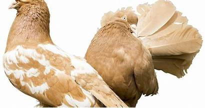 Dara Burung Cara