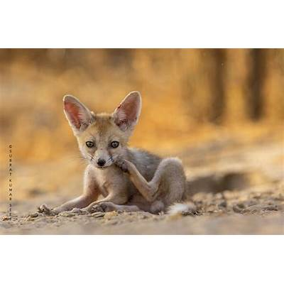 Desert Fox Little Rann of Kutch Gujarat India - FM Forums