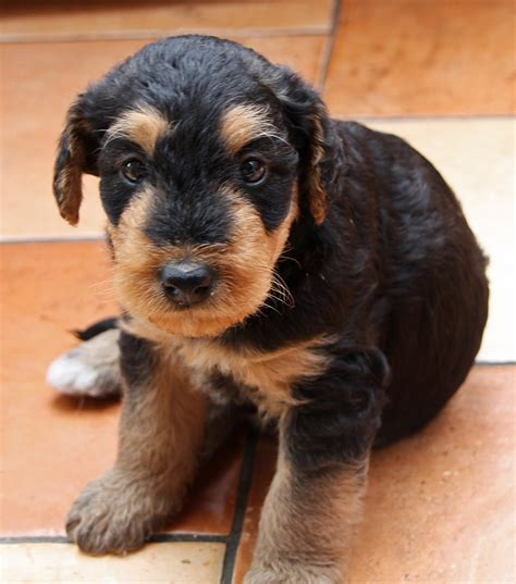 do airedale puppies shed file 01 puppy airedale terrier jpg wikimedia commons