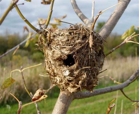 pictures of bird nests tywkiwdbi quot tai wiki widbee quot i have a question about a bird s nest