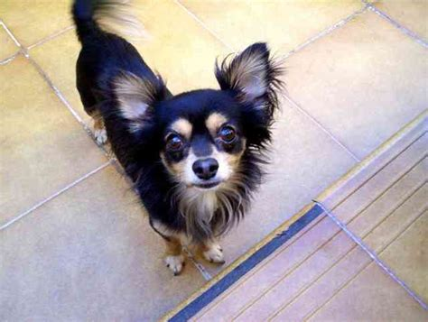 adorable black chihuahua dog   images