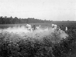 Dusting cotton, 2924
