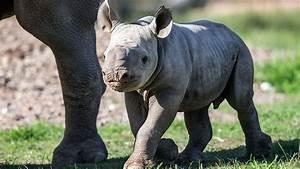 Endangered Black Rhino Baby Born - YouTube