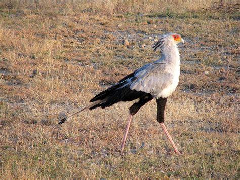 world beautiful birds secretary bird facts information
