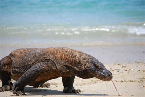 visiting  komodo dragon  indonesia
