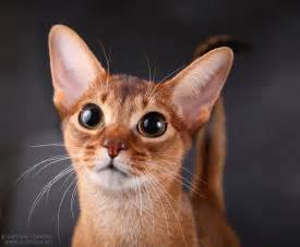 abyssinian cat for abyssinian cat pictures abyssinian cat