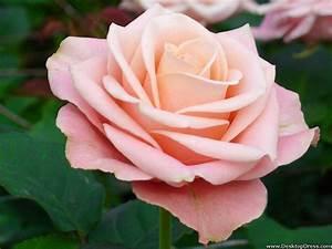 Desktop Wallpapers » Flowers Backgrounds » Rose Light Pink ...