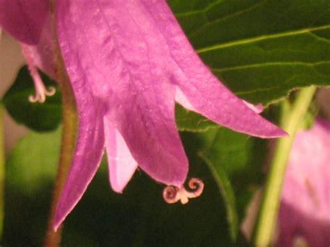 Glockenblume Rosa by Glockenblume In Rosa Foto Bild Pflanzen Pilze