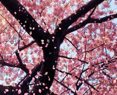 Bibit Collagen Japanese Cherry bibit bunga cherry blossom