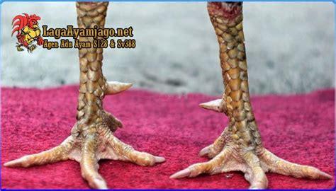 Ayam pukul mati, pukul saraf, pukul ko, video ayam tarung. Bentuk Dan Model Kaki Ayam Petarung Pukul Saraf/Ko / Ciri ...