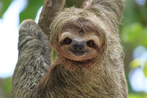 Cute Sloth Meme - sloth smiling jesus they re cute sloth pinterest jim carrey the shoulder and so cute
