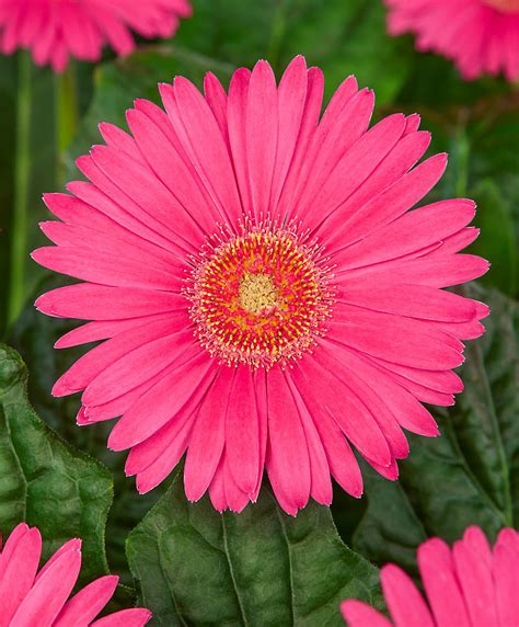 gerbera en pot entretien achetez maintenant une plante vivace gerb 233 ra garvinea 174 sweet series m 233 lange de couleurs