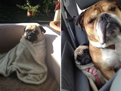 extremely sad pugs