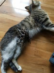trap the cat cat in illegal leg hold trap underscores why state