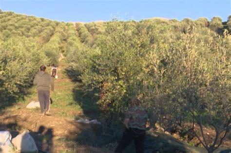 Delvinë/ H.Alinani fermeri 66 vjeçar që kultivon 1500 ...