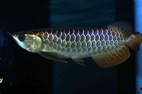 black arowana fish wholesale suppliers  baltimore brazil