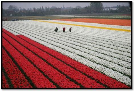 My Resimay by Colorful Tulip Fields Wacky Jacky In Cyberspace