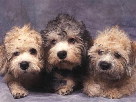 terrier shedding a lot 100 best dandie dinmont terrier shedding dogs images on