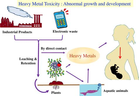 Phosphoru Cycle Diagram Pdf by Schematic Diagram Of Heavy Metal Toxic Exposure To Human
