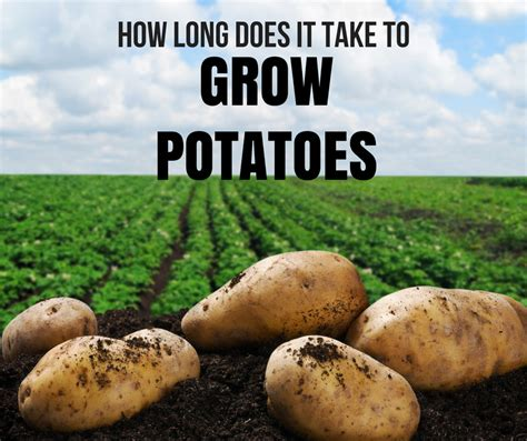 How Long Does It Take To Grow Potatoes?  Loyalgardener. Best Business Checking For Startups. Obesity In America Fast Food Free Web Hosts. Security Companies In New Jersey. Application Building Software. Dui Lawyer Ft Lauderdale N W A Music Videos. How To Pay Down Debt Fast Sealy Mattress Size. Reporting Credit Card Fraud Online Und Edu. Marriott Pleasant Hill Test Webpage Load Time