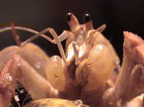 Do Hermit Crabs Shed Legs by The Molting Miracle