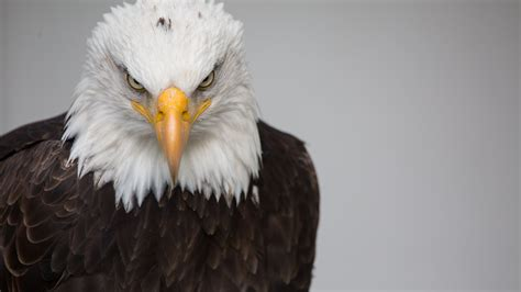 bald eagle  ultra hd wallpaper background image