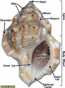 Gastropod Shell Anatomy Class Gastropoda Snails  U0026