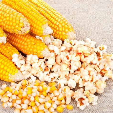 corn seeds corn seeds quot popcorn quot