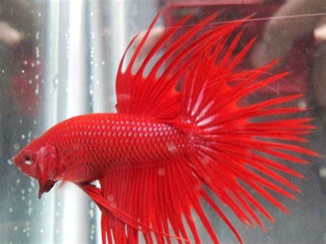Makanan Ikan Cupang Cepat Bertelur peluang budidaya ikan cupang wandaaf