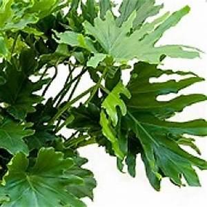 Bambus Pflege Zimmerpflanze : philodendron baumfreund pflege ~ Frokenaadalensverden.com Haus und Dekorationen