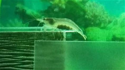 oeuf de crevette aquarium oeuf grosse crevette grise comment faire pour la suite
