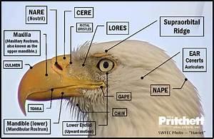 Diagram Bald Eagle Head