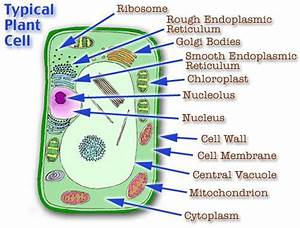 Animal Cell Parts Animal Cell Model Diagram Project Parts