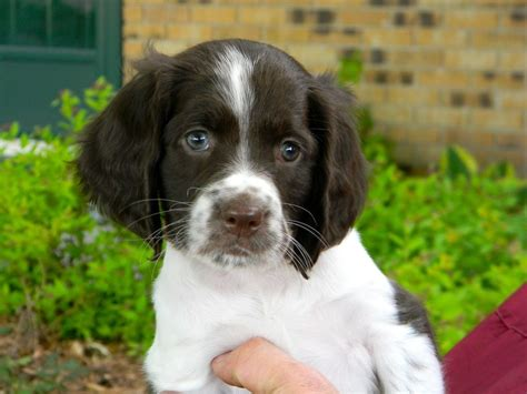 french spaniel dog breeds picture