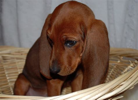 Do Redbone Coonhounds Shed by Top 479 Ideas About I Redbone Coonhounds On
