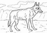 Coyote Coloring Pages sketch template