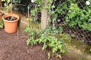 Tomaten Wann Pflanzen : tomaten pflanzen tipps zum setzen pflegen schneiden ~ Frokenaadalensverden.com Haus und Dekorationen