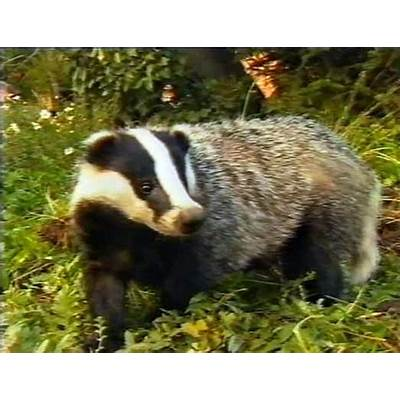 UK public opposed to proposed badger cullNatural History