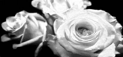 Roses Flower Flowers Gifs Animated Rose Nature