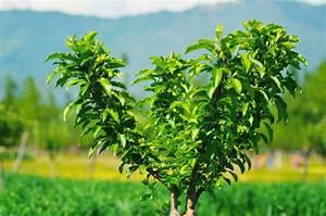 Apfelbaum Hochstamm Kaufen : apfelbaum hochstamm klein halten wohn design ~ Orissabook.com Haus und Dekorationen