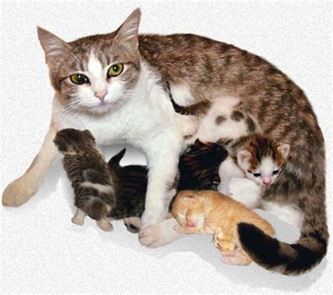 cat pregnancy 25 best ideas about pregnant cat on pinterest cat birth hairless cats and ugly animals