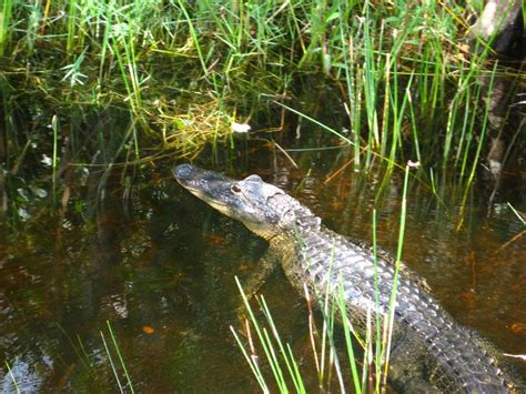 Everglades Airboat Tours Gator Park by Gator Park Airboat Ride 019